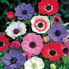 50+ Anemone Multifida Mix Flower Seeds / Perennial