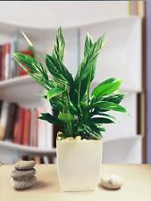 Evergreen Peace Lily Spathiphyllum Indoor Office Plant in Gloss White Milano Pot