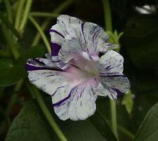 Japanese Morning Glory-PURPLE FLAKED HIGE-I Purpurea-Beautiful Blooms-10 seeds