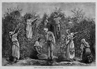 COFFEE PICKING IN COSTA RICA JAVA ANTIQUE 1880 NATIVES LADDER BASKET PICK COFFEE