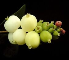 Symphoricarpos Albus-snowberry - 25 Semillas
