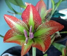 "Hippeastrum "" Iguazuanum"" 12 Mth Offset Bulb - Stunning Flower for the COLLECTOR"