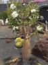 Palmera de Magascar   pachypodium lamerei 10 semillas seeds
