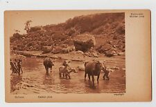 Midden,Java,Indonesia,Water Buffalo in the River,Netherlands East Indies,c.1909