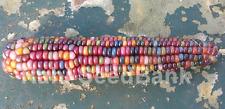 Corn Pink Mistery - A Rare, Stunning Multicoloured Corn Variety!!!