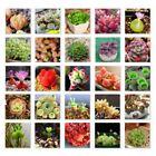 500 Cactus Succulent Mixte Lithops Stones Plantes Seeds décoration intérieure