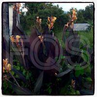 15 X Tropical Canna Seeds Intrigue Hybrid Orange Flower Purple/Green Leaves