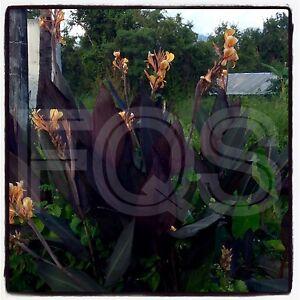 "15 x Canna Seeds. Glauca ""Thai Smokey Flame"" Orange/Peach Flower."