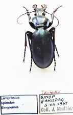 Carabus lamprostus spinolae sinopensis F.I. (male A1 but was pinned) from TURKEY