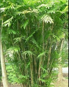 Bamboo PALM TREE  Seeds Indoor Plant 10seeds, Chamaedorea seifrizii