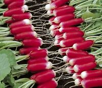 Radish Seeds, French Breakfast, Bulk Radishes, Heirloom Radishes, Non-Gmo, 500ct