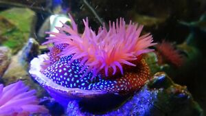 live clown fish Anemone that glow under Blue spot light Stock Photo for marine