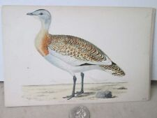 Vintage Print,GREAT BUSTARD #2,British Birds,Morris,c1860