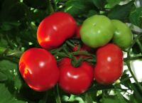 Tomato Vegetable seeds Lyana from Ukraine early