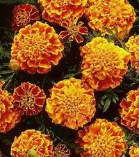 Studentenblume Tagetes Honeycomb einjährig Höhe bis 25 cm Samen