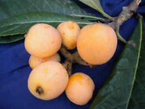 Eriobotrya Japonica Offer Winter 10 Plants Root Nude Nespolo Japanese