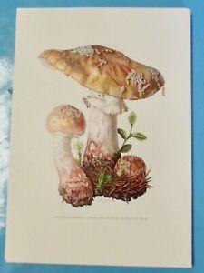 Planche poster art print Affiche Botanique Champignon Amanite Rougeâtre