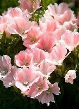 50+ Clarkia Salmon Flower Seeds / Reseeding Annual / Godetia