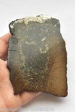 Polished plate of the humerus bone. Polished dinosaur bone.