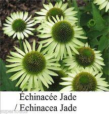 Echinacea Échinacée GREEN Jade15 CANADA Seeds Coneflower Heirloom MEDICINAL HERB