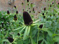 "Rudbeckia Seeds Rudbeckia Green Wizard 50 Flower Seeds ""Perennial"""