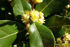BAY LAUREL Laurus nobilis evergreen tree plant aromatic leaves