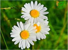 Margarita Gigante Blanca ( Leucanthemum maximum ) 300 semillas - seeds