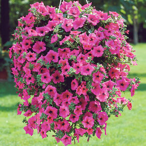 50 Rose Pink Petunia Flower Seeds Winter Heaven Scented Trailing Plant UK Annual
