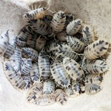20+ Dairy Cow (Porcellio laevis) Isopods Live Insect Clean Up Crew Free Shipping