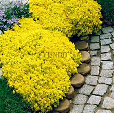 1000pcs/bag Creeping Thyme YELLOW Seeds Perennial Ground cover for home garden