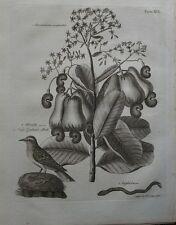 1797 Georgian print ~ Anacardium occidentale casew Écrou Arbre de la Nouvelle-Zélande Lark