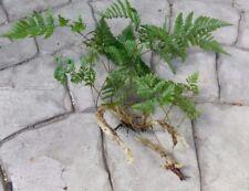 12 Live Rabbit's Foot Fern Plants Rhizome Roots Florida Houseplant