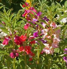 Dwarf Balsam Tom Thumb Mix 50 seeds Impatiens balsamina * Easy Grow * CombSH A61