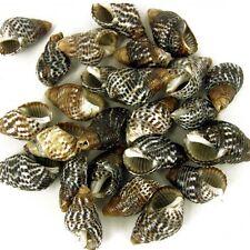 25 x Drilled Nassa Craft Shells Seashells for craft & Beads jewellery SH10