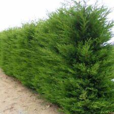 Cupressocyparis leylandii - Cyprès de Leyland pour Haie en kit - LOT de 100 arbu