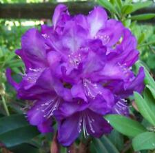 Rhododendron Purple Passion  - #5 Container Size Plant - Hardy to -10 F