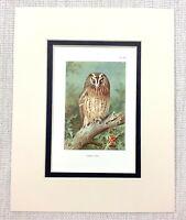 1929 Antico Uccello Stampa Tawny Gufo Gufi Strix Aluco Thorburn's Ornitologia