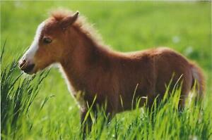 Horse Postcard - Harenberg - Shetland Pony foal