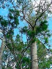 Broadleaved Bottletree (Brachychiton australis) - 30 Seeds