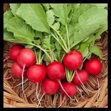 Cherry Belle Radish Seeds | Radish Seeds for Planting Home Gardens | Non-Gmo