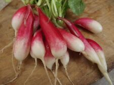 Radish French Breakfast - 50+ seeds- CRISPY and FINE!