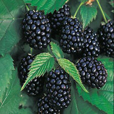 Nutritious Giant Thornless Blackbeery Seeds Antioxidant Fiber Healthful x100pcs
