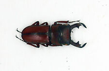 Lucanidae- Dorcus-elegantulus (m) - Cameron Highlands, Malaysia (DE29)