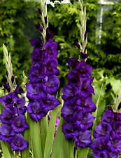 5 Gladiolus Purple Color Flower Bulb Perennial Summer Blooming Plant