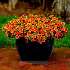 100 pcs Calibrachoa Kabloom Crave Sunset petunia flower seeds
