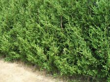 100 X 3 ft-plus large leylandii evergreen hedging 2lt pots--SEE DETAILS PLEASE