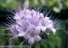 PHACELIA TANACETIFOLIA, PURPLE TANSY BEE PLANT green manure  125,000 Seeds 250g