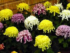 Chrysanthemum Seeds Chrysanthemum Exhibition 500 Seeds BULK SEEDS