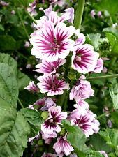 Perennial    MALVA ZEBRINA    15 seeds     EASY!!!