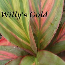 ~WILLY'S GOLD~ Cordyline terminalis COLORFUL TI Hawaiian Good Luck sm Potd PLANT